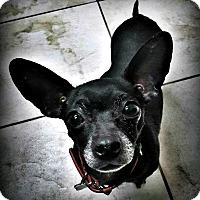 Adopt A Pet :: Suki - Tijeras, NM