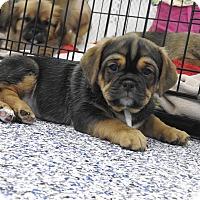 Adopt A Pet :: Brutus - Washington, PA