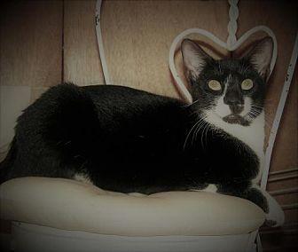 Domestic Shorthair Cat for adoption in Kenner, Louisiana - Eli