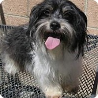 Shih Tzu/Poodle (Miniature) Mix Dog for adoption in Yucaipa, California - Kelly