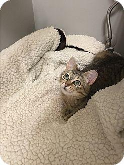 Domestic Shorthair Kitten for adoption in Richmond, Virginia - Josephine
