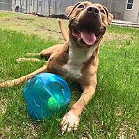 Adopt A Pet :: Hooch - Harrisville, RI