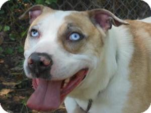 Australian Shepherd/American Bulldog Mix Dog for adoption in Kingwood, Texas - Cooper