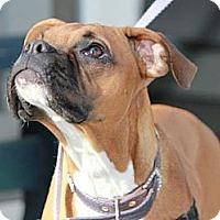 Adopt A Pet :: Lilah - Grafton, MA