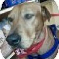 Adopt A Pet :: Honey - Justin, TX