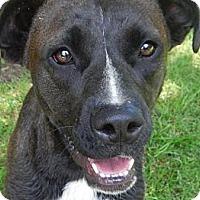 Adopt A Pet :: *Chocolate - PENDING - Westport, CT