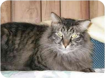 Maine Coon Cat for adoption in Pascoag, Rhode Island - Smokey
