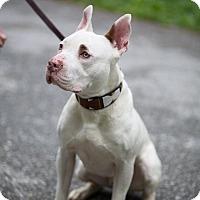 Adopt A Pet :: Dean - Reisterstown, MD