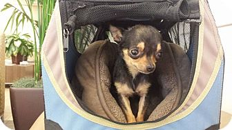 Chihuahua Dog for adoption in Studio City, California - Ava