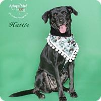 Labrador Retriever/Labrador Retriever Mix Dog for adoption in Houston, Texas - Hattie