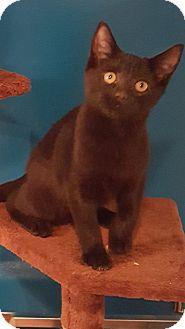Domestic Shorthair Kitten for adoption in Bensalem, Pennsylvania - Clarence