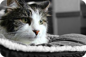 Domestic Mediumhair Cat for adoption in Cedar Rapids, Iowa - Tracer
