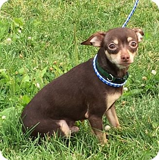 Chihuahua Mix Dog for adoption in Buffalo, Wyoming - Peanut