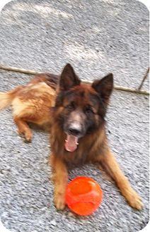 German Shepherd Dog Mix Dog for adoption in New Ringgold, Pennsylvania - Blitz