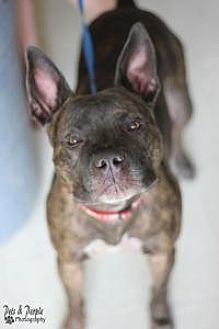 American Staffordshire Terrier Mix Dog for adoption in Yukon, Oklahoma - Jagger