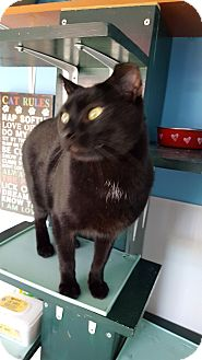 Domestic Shorthair Cat for adoption in Danville, Indiana - Pete