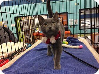 Russian Blue Kitten for adoption in Wilmore, Kentucky - Little Boy Blue