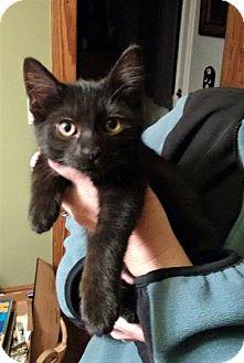 Domestic Shorthair Kitten for adoption in Huntley, Illinois - Tazu