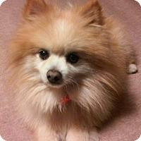 Pomeranian Dog for adoption in Dallas, Texas - Pickles