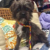 Adopt A Pet :: Alphie - Santa Ana, CA