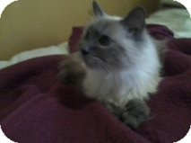 Himalayan Cat for adoption in Palmdale, California - George
