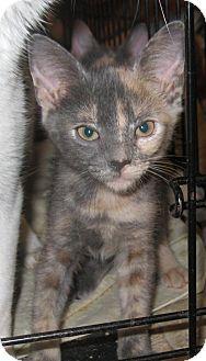 Domestic Shorthair Kitten for adoption in Harriman, New York - Loma