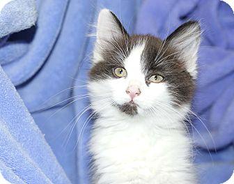 Domestic Longhair Kitten for adoption in Berlin, Connecticut - Azalea