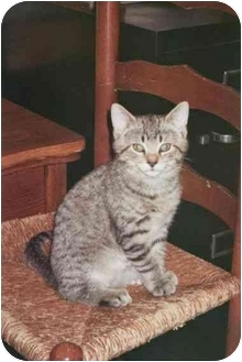 Domestic Shorthair Kitten for adoption in cincinnati, Ohio - Minnie