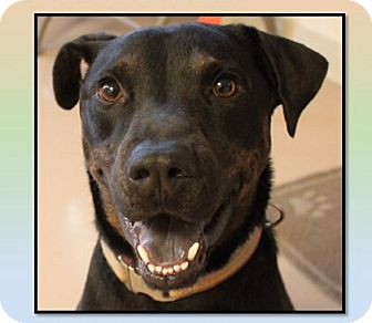 Rottweiler/Shepherd (Unknown Type) Mix Dog for adoption in Mineral Wells, Texas - Zeus
