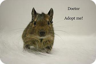 Degu for adoption in West Des Moines, Iowa - Doctor