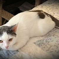 Domestic Shorthair Cat for adoption in Fairborn, Ohio - Rhine