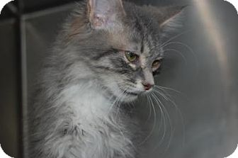 Domestic Longhair Cat for adoption in South Haven, Michigan - Grey Baby