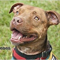 Adopt A Pet :: Reeses - Norfolk, VA