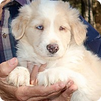 Adopt A Pet :: Linus - Towson, MD