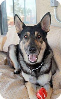 German Shepherd Dog/Husky Mix Dog for adoption in Las Vegas, Nevada - Stash