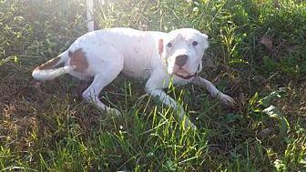 American Pit Bull Terrier Mix Dog for adoption in Foristell, Missouri - Bastille