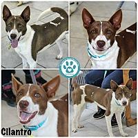 Adopt A Pet :: Cilantro - Kimberton, PA
