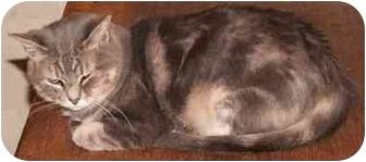 Domestic Shorthair Cat for adoption in Milford, Ohio - Precious