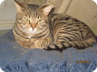 Domestic Mediumhair Cat for adoption in Chesterfield, Virginia - Sassy