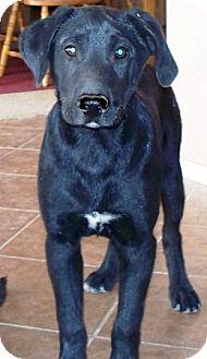 Labrador Retriever/German Shepherd Dog Mix Puppy for adoption in Gilbert, Arizona - Milton