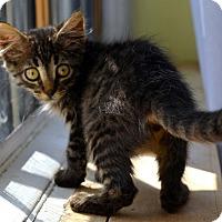 Adopt A Pet :: Damaris - Brooklyn, NY