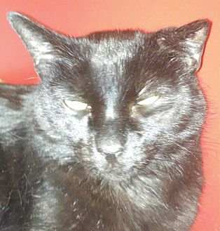 Domestic Shorthair Cat for adoption in Scottsdale, Arizona - Diego-big-compact-black-loving