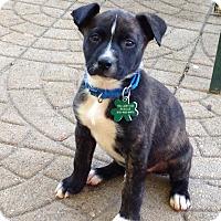 Adopt A Pet :: Wahlberg - Alpharetta, GA