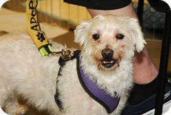 Poodle (Miniature) Dog for adoption in N. Babylon, New York - Einstein (aka Papa)
