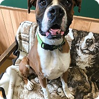 Boxer Dog for adoption in Maryville, Missouri - Roscoe (PENDING)