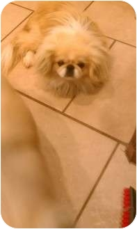 Pekingese Dog for adoption in Hales Corners, Wisconsin - Ling Ling