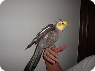 Cockatiel for adoption in St. Louis, Missouri - Gussie
