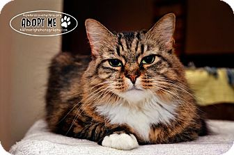 Domestic Longhair Cat for adoption in Columbia, Maryland - Xina