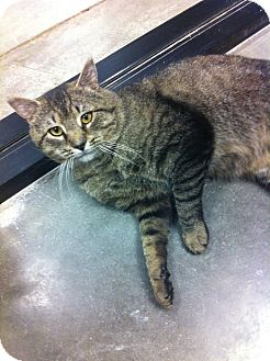 Domestic Shorthair Cat for adoption in Pittstown, New Jersey - Blake