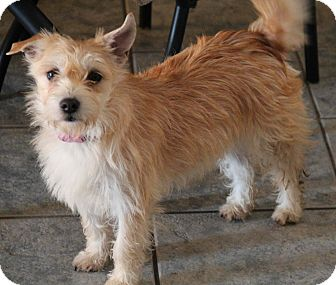 Cairn Terrier/Terrier (Unknown Type, Small) Mix Puppy for adoption in Yuba City, California - Twinkle